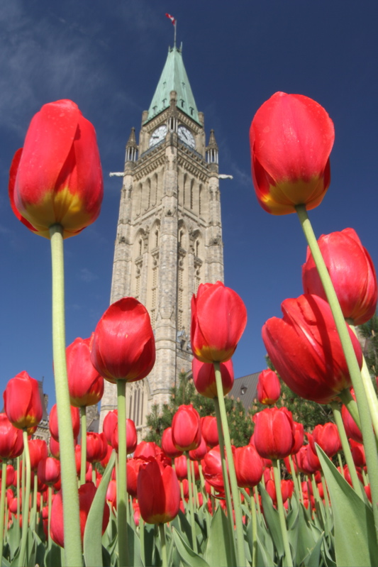 Tulips in Parliament