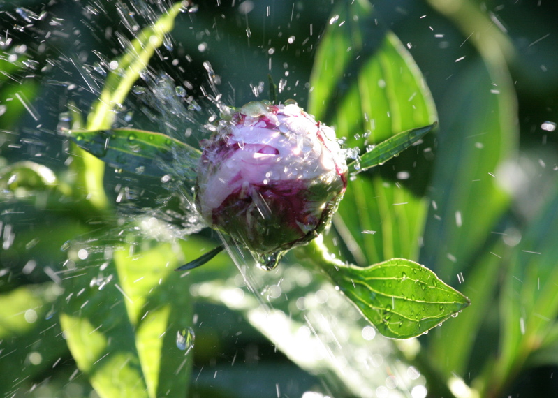 Watered Peony Flower